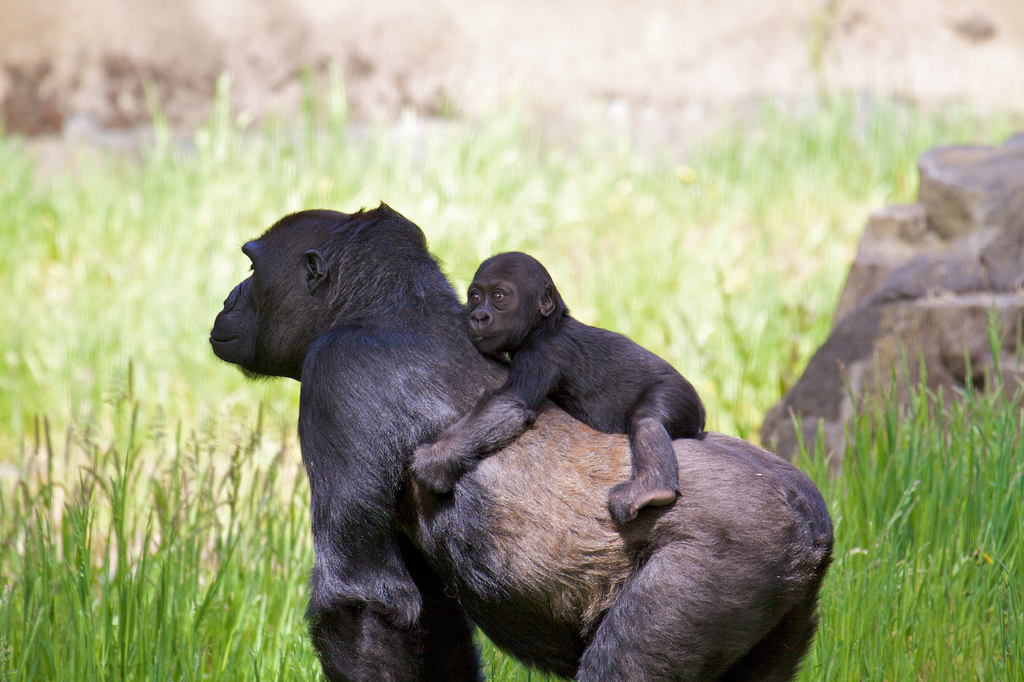 Human birth control pills work on gorillas.