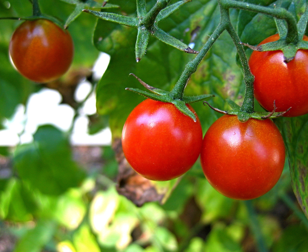 A tomato plant was found on the 40 year old volcanic island, Surtsey. Scientist were boggled as to how it got there. Apparently, it was from scientist taking a dump: His feces served as a natural compost.