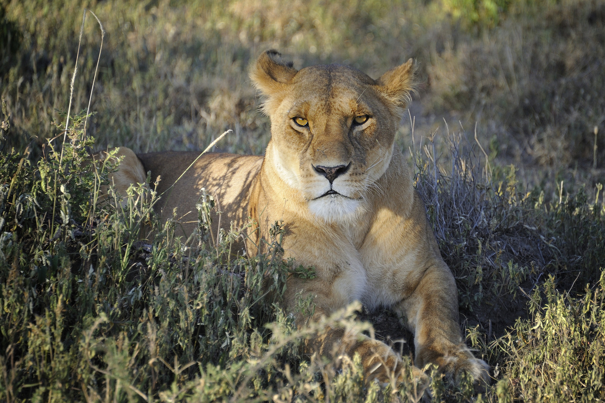 The female lion does 90% of the hunting for the pride.