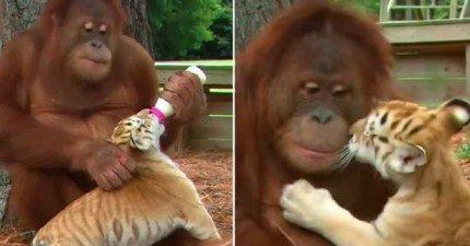 一名網友在動物園拍到「猩猩餵小老虎喝奶」的奇景可愛到會讓你希望每天都可以看得到。