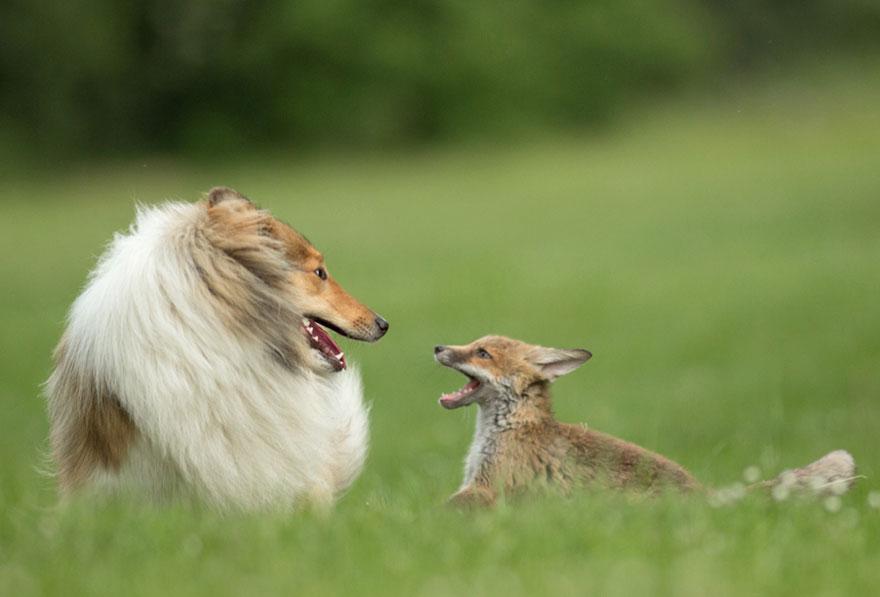 3週大的小狐狸媽媽在車禍中死了,結果一隻牧羊犬和一隻貓合力把他養大了!