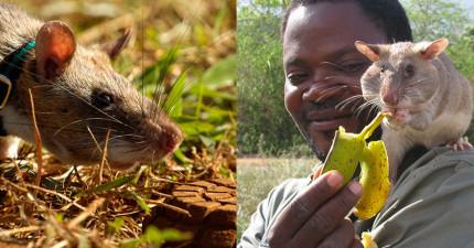 當你在家裡舒服的看電視時,這些非洲巨鼠可能正在執行偵測任務拯救幾千條人命呢!