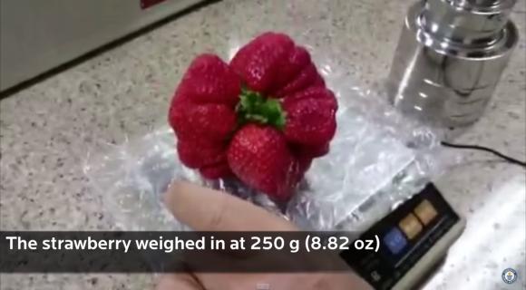 這就是最新突破金氏世界紀錄的最巨大草莓王,根本吃一顆就飽了吧?!