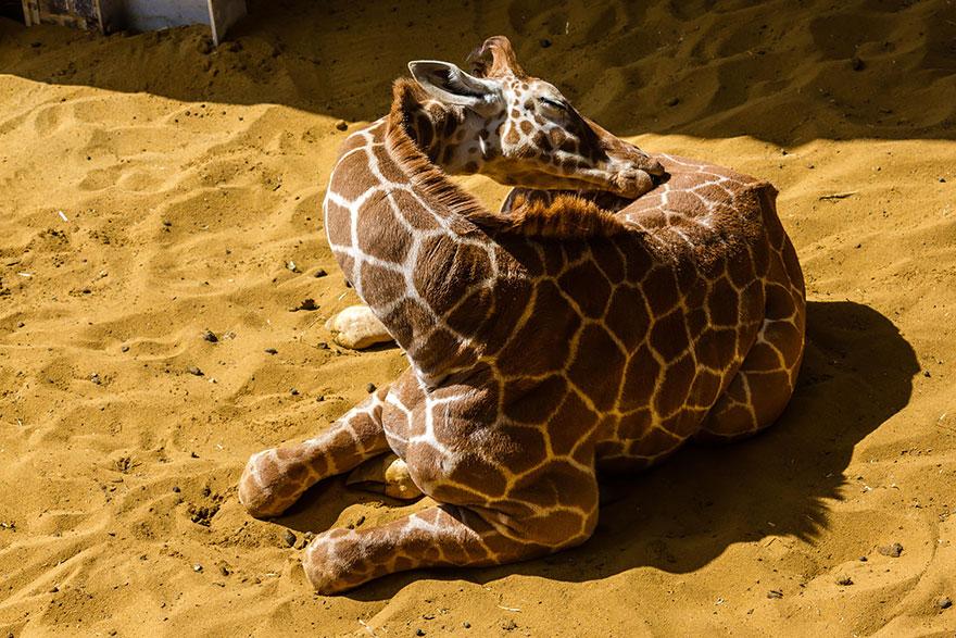 這就是長頸鹿超難捕捉但又萌翻的12個睡姿!