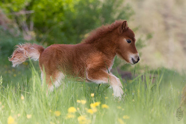 看完這15張萌翻天的迷你馬照片,每個人都會將「一座牧場」放進購買清單裡面!