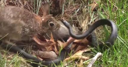 兔媽媽回巢發現蛇傷害了寶寶,她立刻讓蛇知道:你惹不起任何一位憤怒的母親!