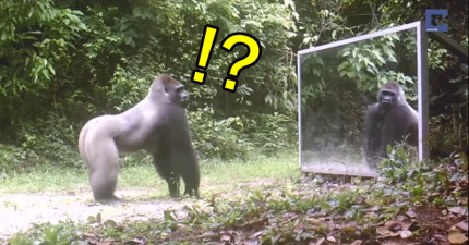 他們將一面大鏡子擺在野生動物前面想測試反應,網友驚呼:「1分04秒的動物居然把鏡子擦乾淨?!」
