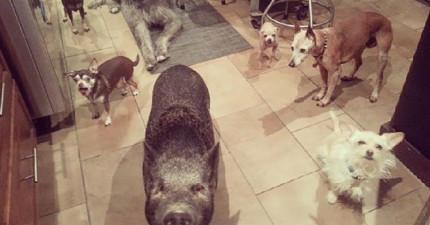 他收養了一隻豬但擔心他會跟家裡狗狗處不來,結果證明他真的大錯特錯!