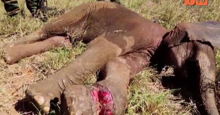 這隻小象被盜獵者陷阱夾斷腳危在旦夕,但在救援後的可愛模樣會讓你眼睛一亮!