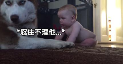 超酷的哈士奇一開始還以為可以抵擋人類寶寶超可愛攻勢,但忍了17秒後...