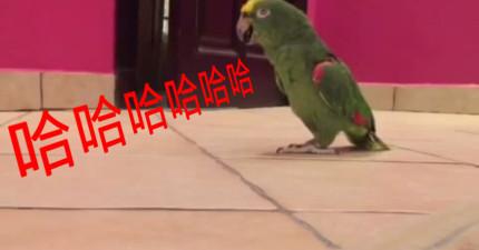 聽完這隻鸚鵡怎麼笑之後,你也會對這隻鸚鵡有極度的不信任。