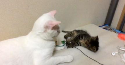 白色貓咪本來會一直逗小隻的,但當開始地震時,大隻的反應讓我太感動了!