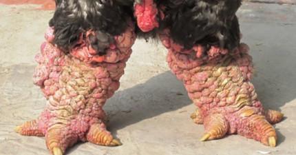 這種雞貌似遭感染變成變種雞,才怪!牠可是身價不斐的罕見雞種啊!