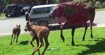 他們看到麋鹿在家門外很熱的樣子就開了灑水器,沒想到就上演了超迪士尼的可愛畫面。