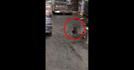 這隻小浣熊闖進了一個啤酒倉庫,結果當工人到的時候,就拍下了這醉醺醺的爆笑片段。