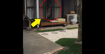 日本網友發現自家柴犬竟然都趁自己不在時,使出「漂浮」特異功能把鄰居全部嚇死!