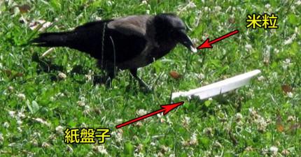 有路人拍到這隻烏鴉做的偉大事情證明:人類真的還有的學呢!