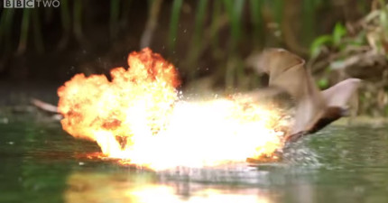 如果麥克貝導這段蝙蝠vs.鱷魚的紀錄片的話,裡面的爆破戰鬥場景就會比《復仇者》還要精采!