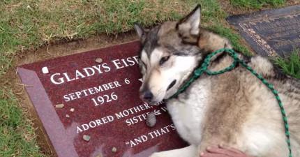 狗兒知道最愛的主人去世了,在她的墓碑上哭泣的模樣是我看過最悲傷的10秒...