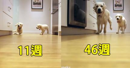 主人拍下兩隻狗狗從小到大搶食物的成長影片,會讓你心中喜悅滿到肺裡!