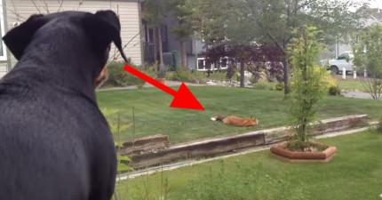 這隻狗兒眼看著自己的玩具被一隻野狐狸玩,超抓毛但什麼都做不了。