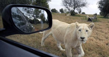 這名美籍女子在野生動物園遭到母獅襲擊而喪命,只因為她犯了一個多數人都會犯的致命疏忽。