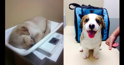 19隻即將要知道獸醫院比「地獄還恐怖」的天真可愛狗寶寶。