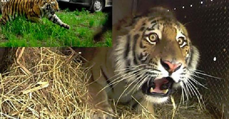 這隻美麗的東北虎因為威脅到人類而被抓起來,但他重獲自由的模樣讓人看得好感動喔!