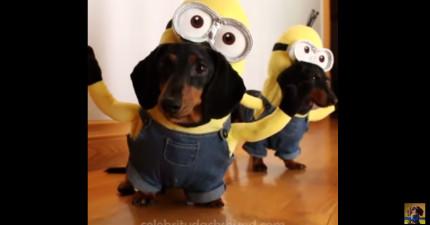 你有辦法打開音效看這2隻「小小兵臘腸狗」15秒內忍住不笑嗎?