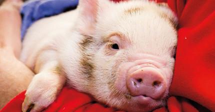 看完這個科學研究之後,你可能以後再也不會想要吃豬肉了!
