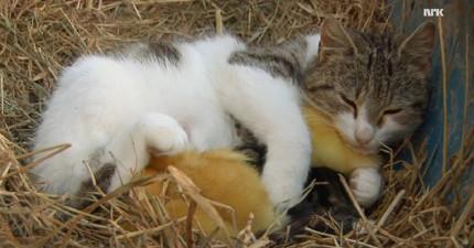 這隻住在農場的貓咪剛生了一窩小貓,但懷裡這些寶寶有幾隻的叫聲卻是...「呱呱」?!