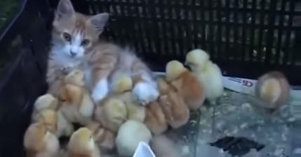 如果你像普通人類也有心肝的話,這支貓咪領養一群小雞的影片就會打動你!