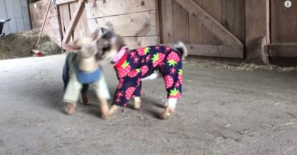 這兩個山羊寶寶即將要做的事情會提醒你生命中的美好。