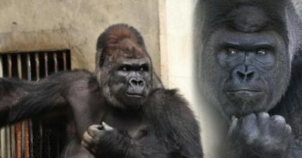 日本這間動物園最近忽然女訪客暴增,結果發現到居然是為了這隻天菜猩猩!
