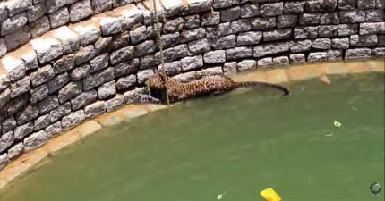 當一隻野生危險的花豹掉入一個井後,這整段救援讓人看得感到又驚險,又感動!