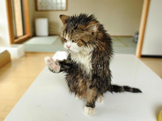 11隻發誓在洗完澡後要把你摧毀的「超不爽洗澡貓咪照」。