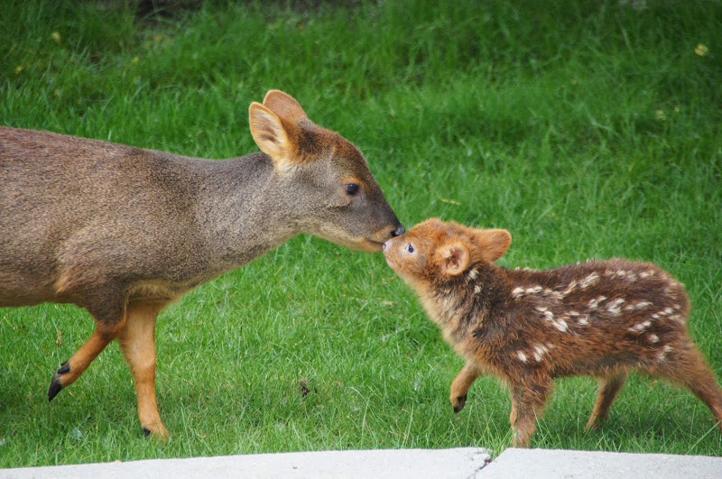 全世界最小的15公分鹿寶寶誕生!可愛程度連迪士尼畫家都畫不出來!