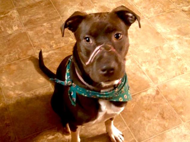 這隻比特犬遭膠帶綑綁嘴巴命運淒慘,但受救援後的他命運翻轉還變成大明星!