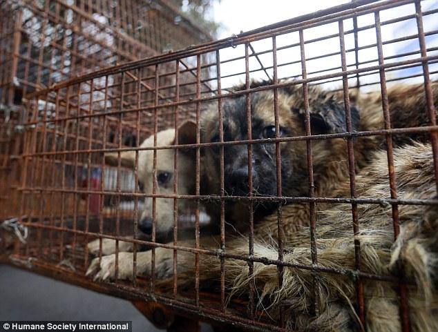 因為吃狗肉被國際罵翻的「中國狗肉節」本來保證不會再殺狗,結果記者臥底深入竟偷拍到「這樣的畫面」...