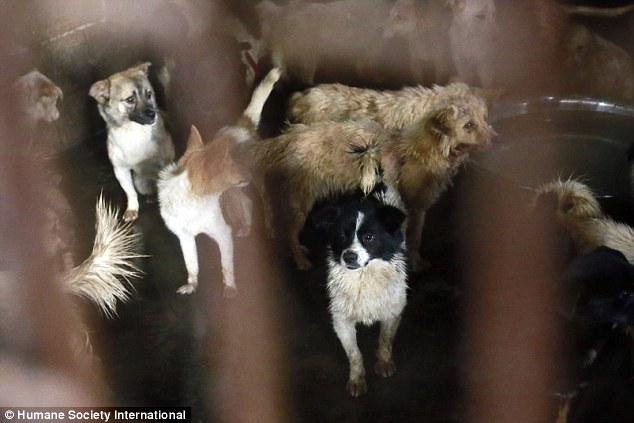 中國玉林市宣布停辦傳統的「狗肉節」,但福利團體偷偷調查後卻見到這令人心碎的一幕。