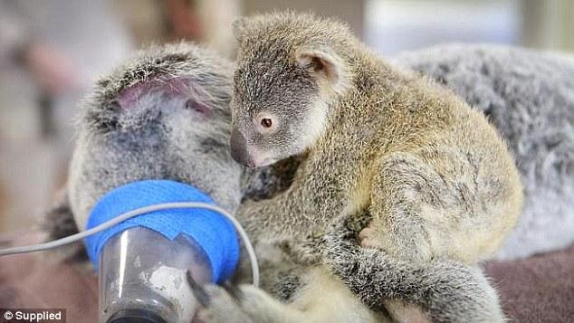 無尾熊媽媽車禍接受緊急手術,小寶寶緊緊守護媽媽的模樣會讓你整個融化。