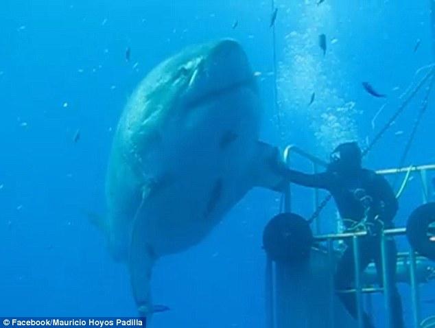 他們在海裡遇到了「50歲全球最巨大鯊魚」,結果她游來時手伸出來就發生了最酷的事情!