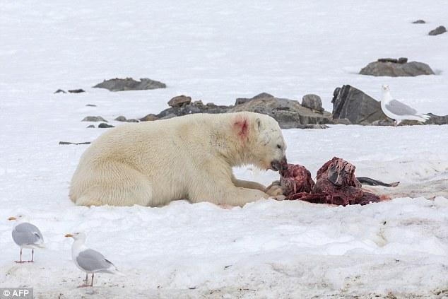 科學家捕捉到北極熊第一次吃海豚的血腥畫面,這是個每個人類都需要知道的嚴重警告!