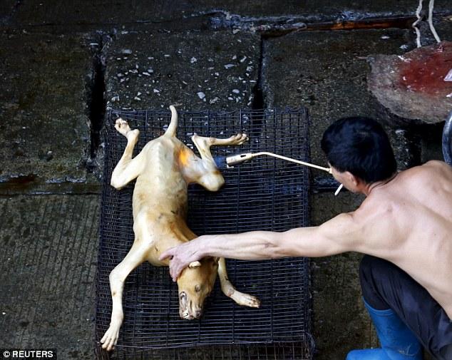 這隻小狗還在尋求關愛,但他還不知道下一秒就要被活活剝皮、火烤送上餐桌。