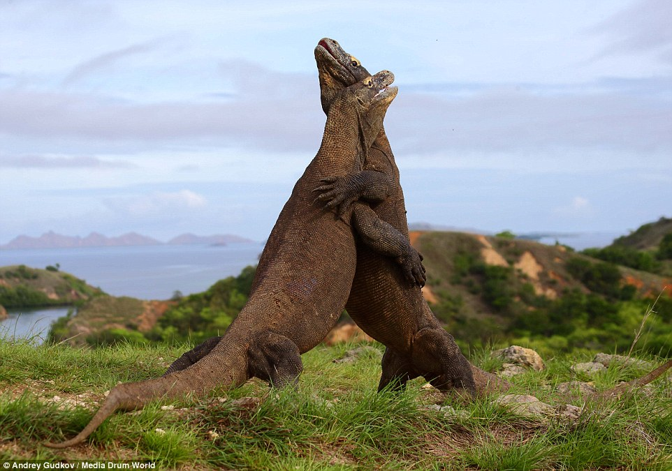 攝影師冒險近距拍下科摩多龍互搏瞬間,力道飽滿的畫面根本就是《侏羅紀世界》!