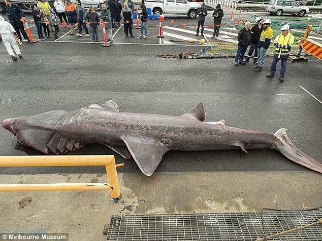 這隻重達3000公斤「比大白鯊還要恐怖的深海巨怪」,間隔100年再度於澳洲海域中現身!