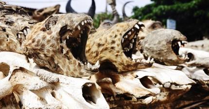 攝影師直擊非洲「巫術市場」的骸骨世界。愛情魔藥的成份...你敢用嗎?