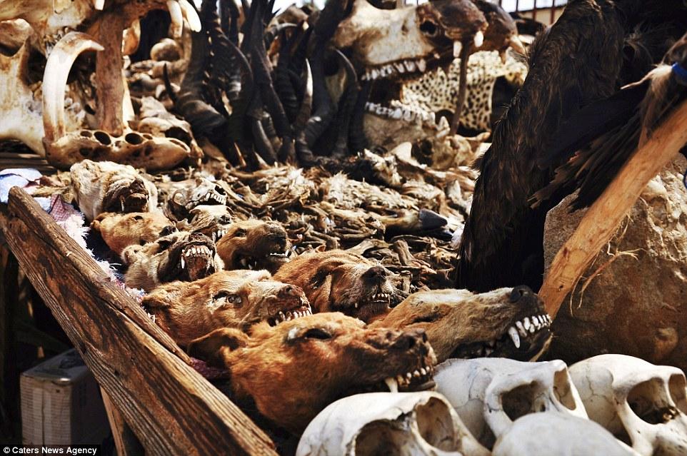 这里有牛头和马尾巴,还有一些你想都没想过的动物骨骸,像是死猫头