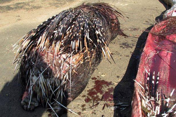 4公尺長非洲大蟒蛇吃錯動物,最後就被肚裡的食物給殺死了「畫面超暴力」