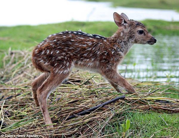 河水暴漲!印度男孩無懼自己被滅頂 始終「堅持舉著小鹿」